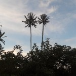Palm trees in Bako National Park