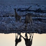 Giraffes at the Waterhole